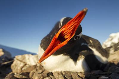 Antarctica, Petermann Island, Gentoo Art Print