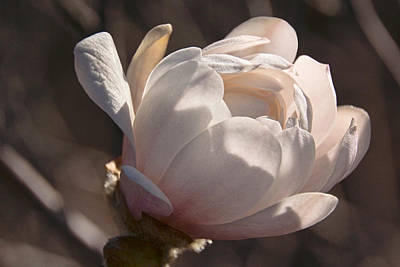 Photograph - April Morning Magnolia by Theo O'Connor