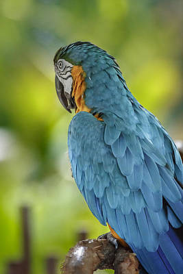 Photograph - Ara Parrot by Peter Lakomy