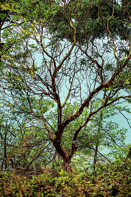 Photograph - Arbutus Tree by Sabine Edrissi