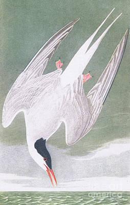 Arctic Air Painting - Arctic Tern by John James Audubon