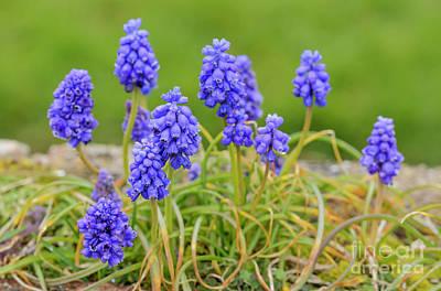 Grape Hyacinth Photograph - Armenian Grape Hyacinth by Geoff Smith
