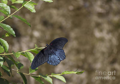 Photograph - Asian Swallowtail by Pietro Ebner
