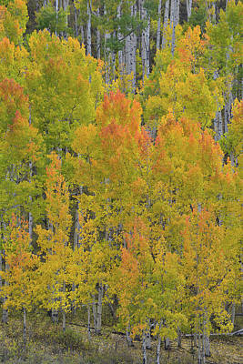 Photograph - Aspen Grove At Dallas Divide by Ray Mathis