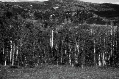 Photograph - Aspen Grove by Hugh Smith