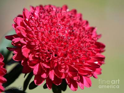 Photograph - Aster Named Bonita Scarlet by J McCombie