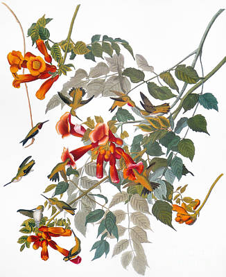 Audubon: Hummingbird Art Print by Granger
