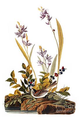 Photograph - Audubon: Sparrow, 1827-38 by Granger