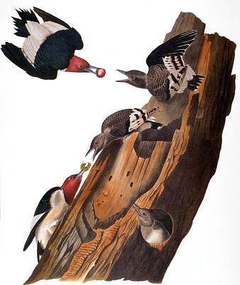 Photograph - Audubon: Woodpecker by Granger
