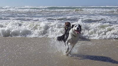 Australia - Border Collie Runs Out Of The Surf Art Print