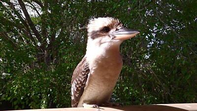 Photograph - Australia - Kookaburra Full Body Look by Jeffrey Shaw