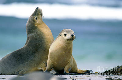 Australian Sea Lion Photograph - Australian Sea Lion Neophoca Cinerea by Gerard Lacz
