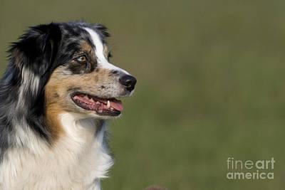 Herding Dog Photograph - Australian Shepherd by Jean-Louis Klein & Marie-Luce Hubert