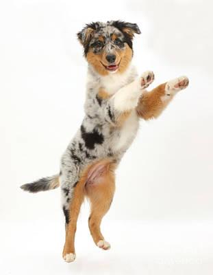 Australian Shepherd Pup Art Print by Mark Taylor