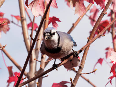 Photograph - Autumn Blue Jay 3 by Leslie Montgomery