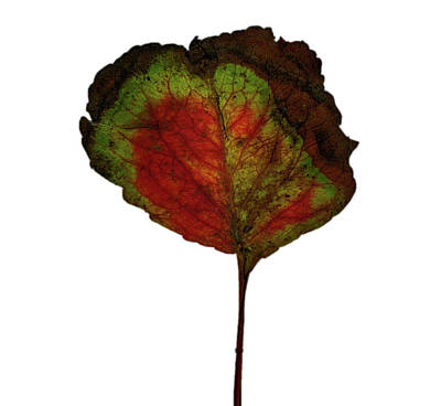 Photograph - Autumn Leaf by Robert Ullmann