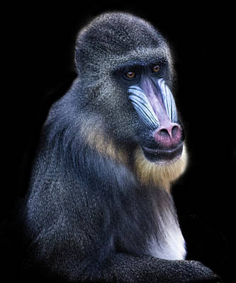 Uganda Photograph - Baboon Portrait by Martin Newman