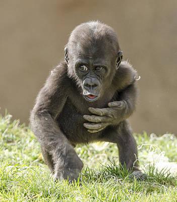 Photograph - Baby Gorilla by William Bitman