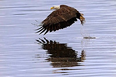 Bald Eagle Flying Art Print by Ed Book
