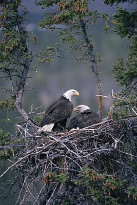 Eagle Photograph - Bald Eagle Haliaeetus Leucocephalus by Michael Quinton