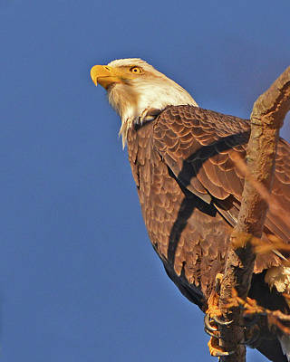 Photograph - Bald Eagle by Ken Stampfer