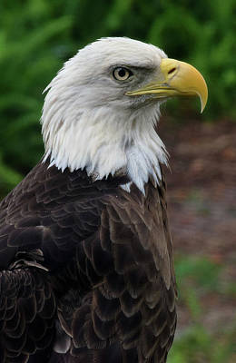 Photograph - Bald Eagle by Larah McElroy
