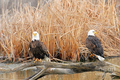 Pittsburgh According To Ron Magnes - Bald Eagles by Dennis Hammer