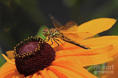 Flower Photograph - Band-winged Meadowhawk by Gary Wing