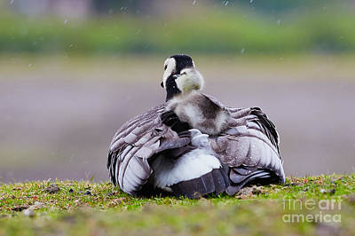 Animals Royalty-Free and Rights-Managed Images - Barnacle Goose with chick in the rain by Nick  Biemans