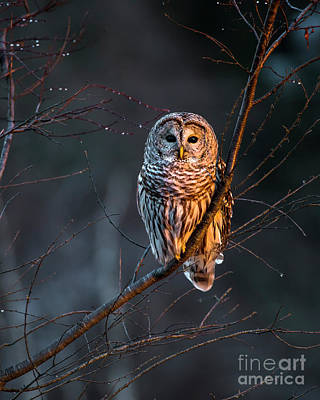 Bailey Island Photograph - Barred Owl Tall by Benjamin Williamson