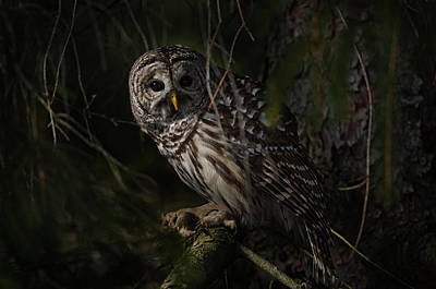 Print featuring the photograph Barred Owl In Pine Tree by Michael Cummings