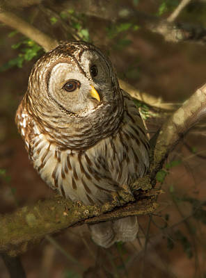Photograph - Barred Owl by Jean Noren