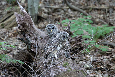 Photograph - 2 Barred Owls by David Stasiak