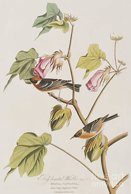 Pink Flower Branch Painting - Bay Breasted Warbler by John James Audubon