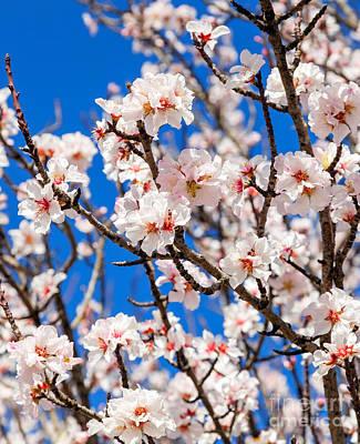 White Flower Photograph - Beautiful Cherry Blossoms by Jose Elias - Sofia Pereira
