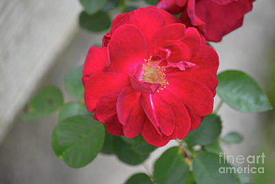 Photograph - Beautiful Red Rose by Ruth Housley