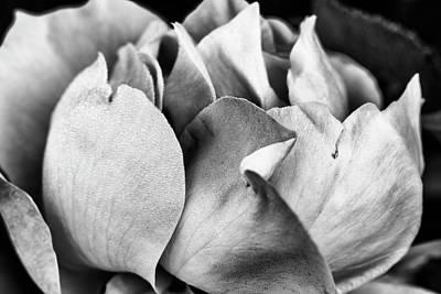 Photograph - Beautiful Rose Closeup In Monochrome by Vishwanath Bhat