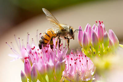 Outdoor Photograph - Bee And Sedum by SR Green