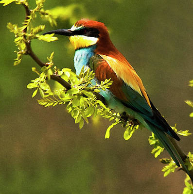 Colourfull Photograph - Bee Eater by Cliff Norton