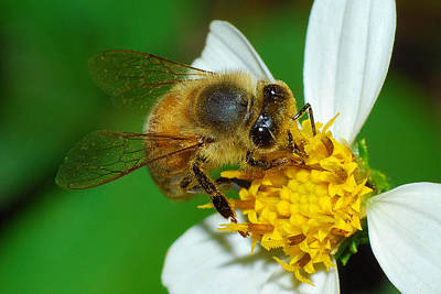 Photograph - Bee by Larah McElroy