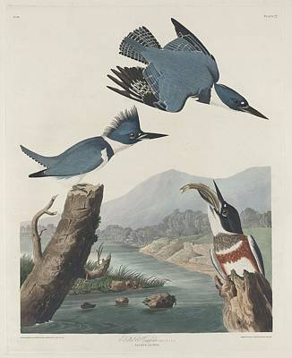 Kingfisher Drawing - Belted Kingfisher by Dreyer Wildlife Print Collections