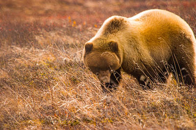 Autumn Photograph - Big Hungry Grizzly by Jeff Folger