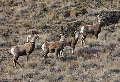 Photograph - Bighorn Sheep by Gary Wing