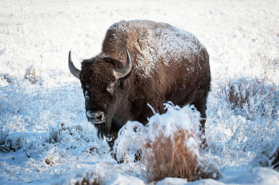 Photograph - Bison by Catherine Lau