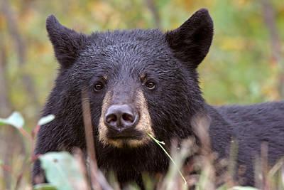 Feeding Digital Art - Black Bear Along British Columbia Highway by Mark Duffy