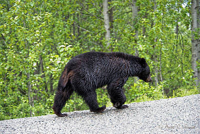 Photograph - Black Bear by David Arment