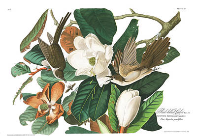 Cuckoo Wall Art - Painting - Black Billed Cuckoo by John James Audubon