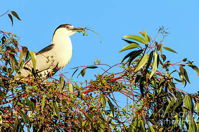 Photograph - Black Crowned Night Heron by Ben Graham