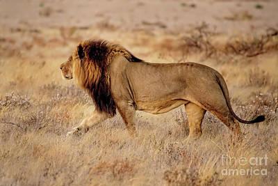 Photograph - Black-maned Lion Of The Kalahari by Kay Brewer