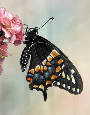 Photograph - Black Swallowtail Butterfly by David and Carol Kelly